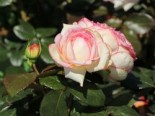 Zwergrose 'Biedermeier' ®, Rosa 'Biedermeier' ®, Wurzelware