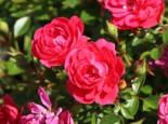 Zwergrose 'Hobby' ®, Rosa 'Hobby' ®, Containerware