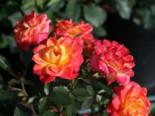 Zwergrose 'Mandarin' ®, Rosa 'Mandarin' ®, Containerware