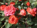 Zwergrose 'Orange Juwel' ®, Rosa 'Orange Juwel' ®, Wurzelware
