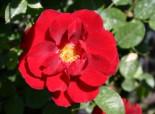 Zwergrose 'Zwergkönig 78' ®, Rosa 'Zwergkönig 78' ®, Wurzelware