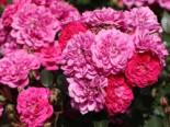 Zwergrose/Bodendeckerrose 'Roxy' ®, Rosa 'Roxy' ® ADR-Rose, Containerware