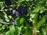 Zwetsche 'Haroma' ®, Stamm 40-60 cm, 120-140 cm, Prunus 'Haroma' ®, Wurzelware