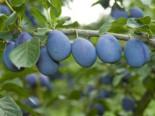 Zwetsche 'Jojo' ®, Stamm 40-60 cm, 120-160 cm, Prunus 'Jojo' ®, Wurzelware