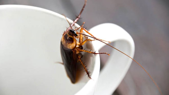 Cockroach Milk Touted As A Superfood