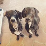 ATLAS AND APOLO DACHSHUND X DALMATIAN BROTHERS - 8 YRS - DOB 26/07/12 - CANNOT BE SEPARATED