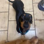 NUGGET - BLACK & TAN SMOOTH MALE - 2 YRS 8 MONTHS - DOB - 22/09/18 - *on 2 week trial from 11/09/21*