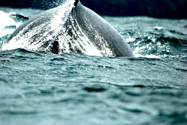 "Baleine à bosse © <a href=""https://www.flickr.com/photos/aztlek/"" target=""_blank"">Luis Alejandro Bernal Romero</a>"