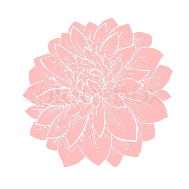 Beautiful Dahlia Flower Isolated On White Hand Drawn