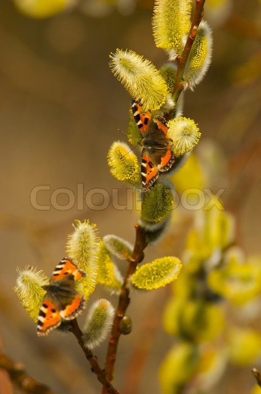 Willow Butterfly Spring Plant Nature Branch Blossom