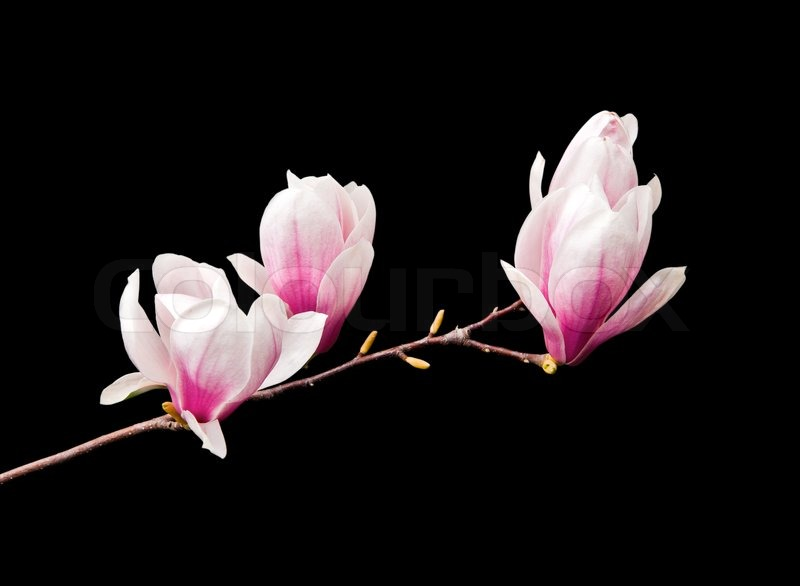 Pink magnolia flowers isolated on black background   Stock Photo     Pink magnolia flowers isolated on black background   Stock Photo   Colourbox