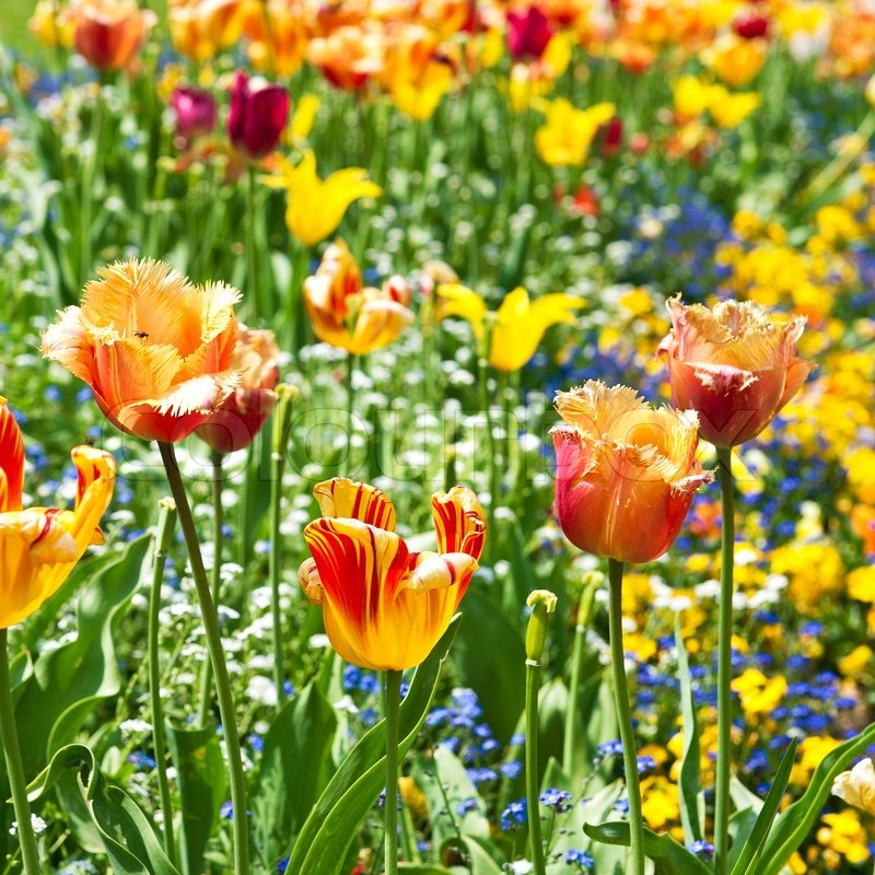 Colorful Spring Tulip Flowers Sunny Day Stock Photo