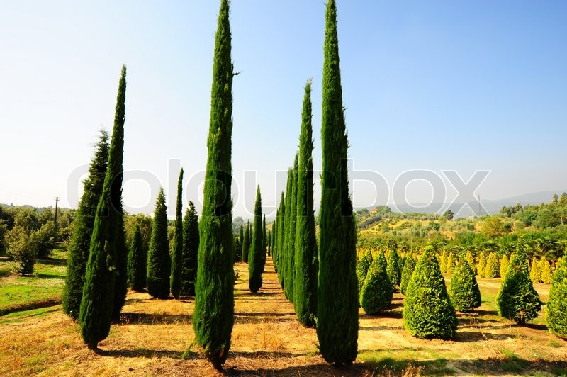 Cypress Trees In The Nursery Garden In Tuscany Italy