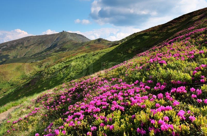 Magic pink rhododendron flowers on summer mountain   Stock Photo     Magic pink rhododendron flowers on summer mountain   Stock Photo   Colourbox