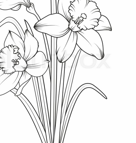 Daffodils narcissus isolated on white ... | Stock vector ...