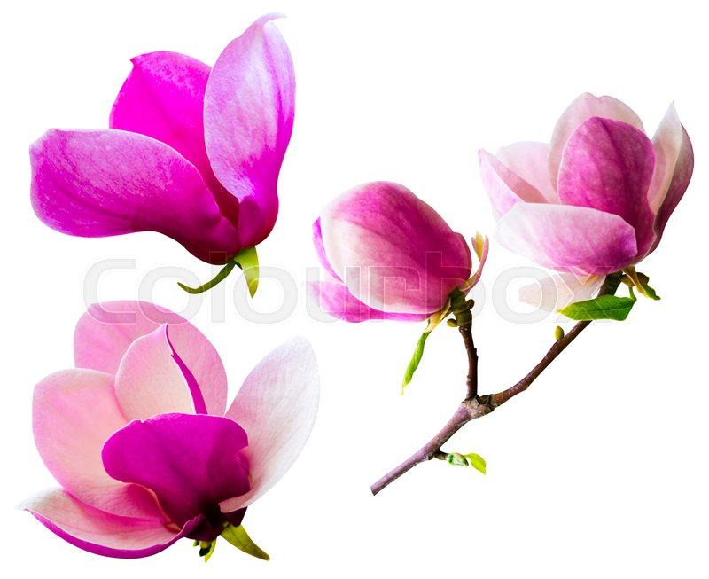 Decoration of few magnolia flowers  pink magnolia flower isolated on     Decoration of few magnolia flowers  pink magnolia flower isolated on white  background  Magnolia  Magnolia flower  Magnolia flower  spring branch  isolated on