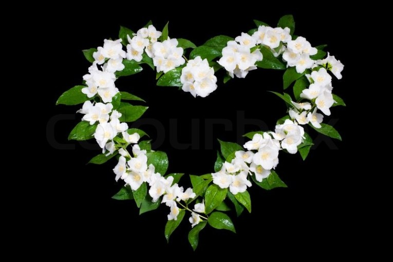 A jasmine flowers in the shape of heart on black   Stock Photo     A jasmine flowers in the shape of heart on black   Stock Photo   Colourbox