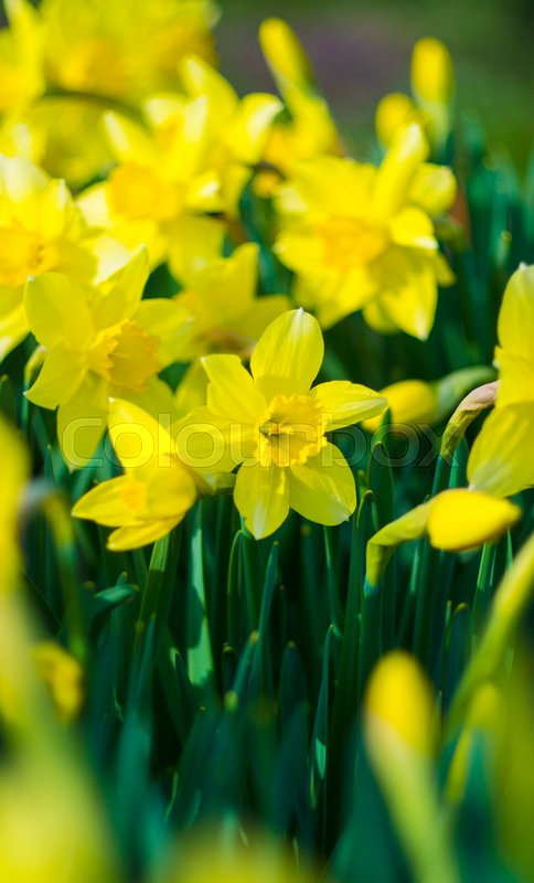 Daffodils  Flowers of daffodils  Yellow daffodil flower in the field     Daffodils  Flowers of daffodils  Yellow daffodil flower in the field  Flower  Narcissus in the green grass    Stock Photo   Colourbox