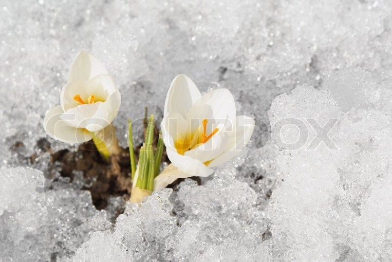 Two white crocuses on snow background first spring s flowers   Stock     Two white crocuses on snow background first spring s flowers   Stock Photo    Colourbox