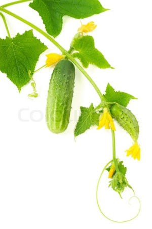 Cucumbers growing on a vine on pure white background