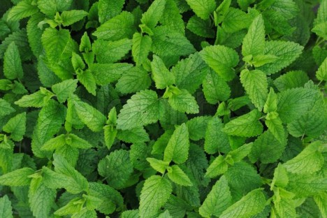 Image result for images of mint leaves