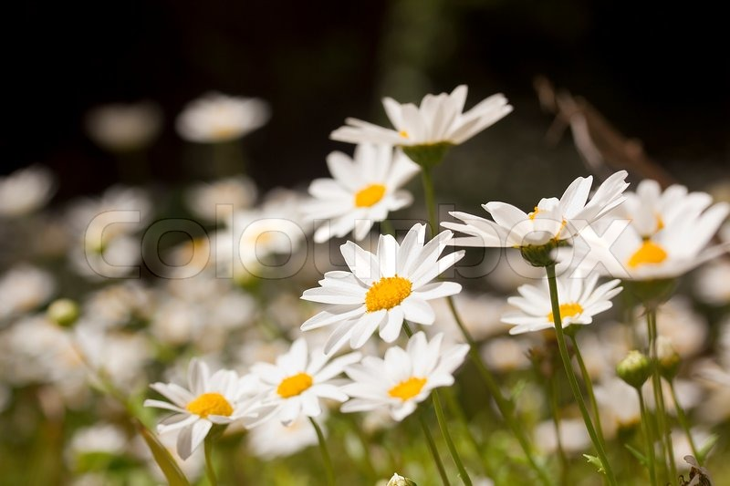 Close Up Photograph Of White Daisies At A Daisy Field