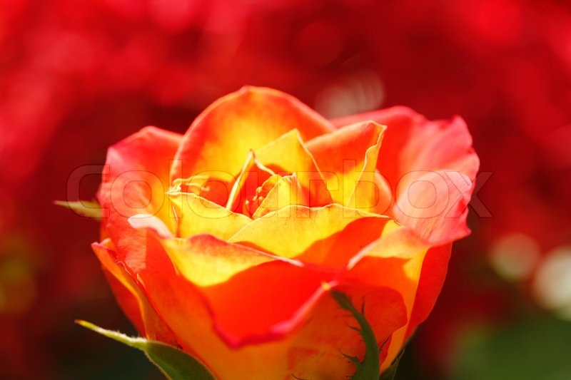 Glowing Orange Yellow Rose With Red Background Stock