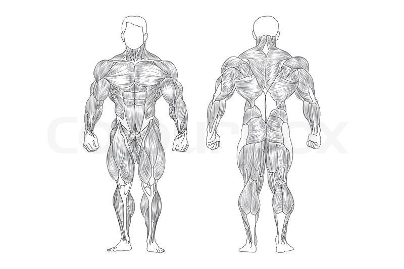 Männliche Muskeln