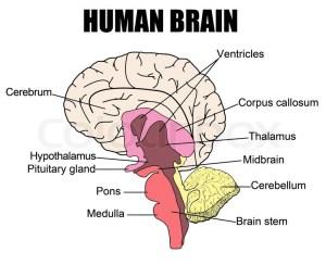 Anatomy of human brain, vector  | Stock Vector | Colourbox