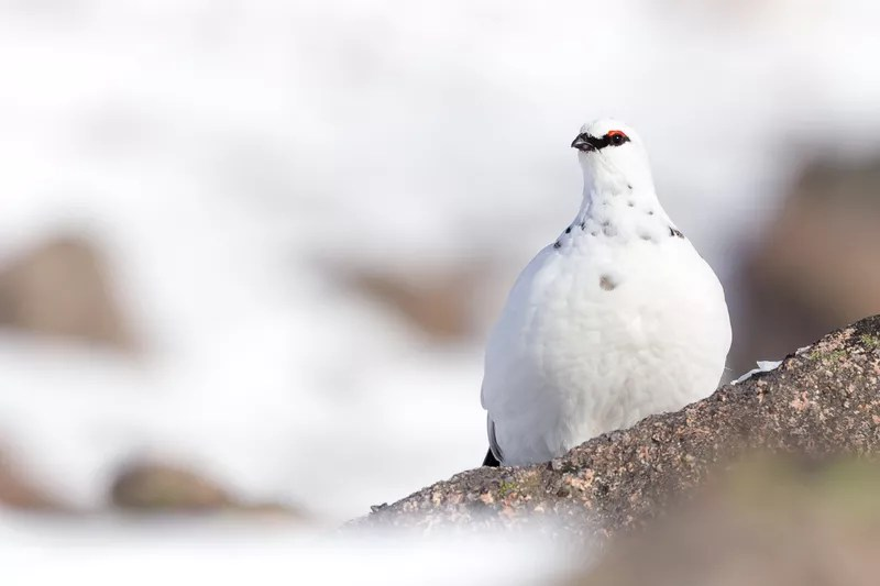 Ptarmigan in the Scottish Cairngorms