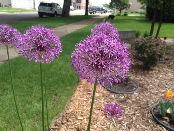Allium Gladiator (5 Bulbs)