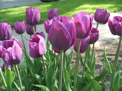 Purple Tulips (25 bulbs)