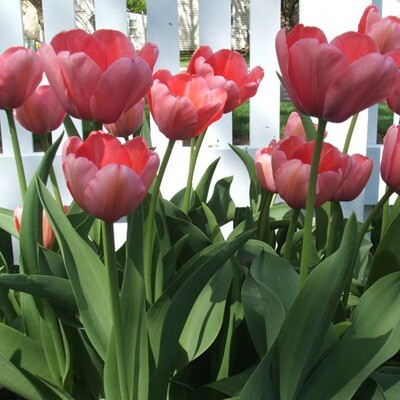 Pink Tulips (25 bulbs)