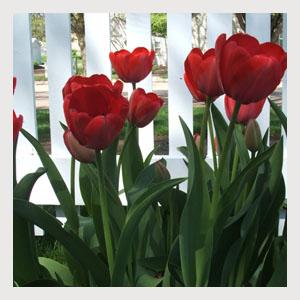 Red Tulips (25 Bulbs)