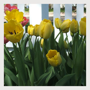 Yellow Tulips (25 Bulbs)