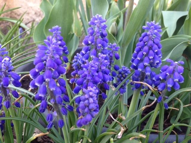 Muscari Grape Hyacinths (64 Bulbs)