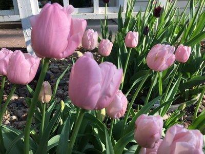 Pink Diamond(10 Bulbs)