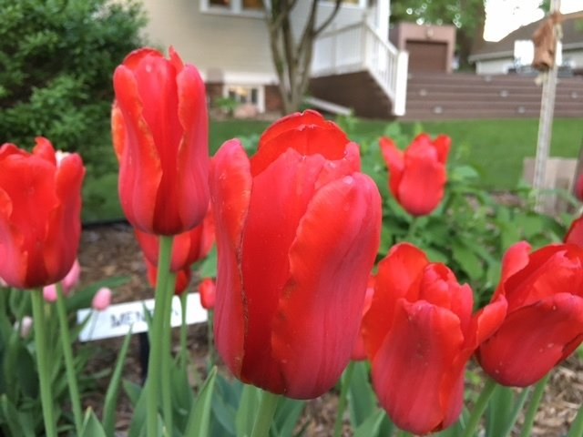 Red Proud (10 Bulbs)