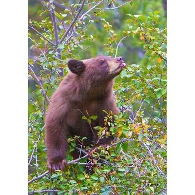 Bear in the Tree Eating Berries -- Jeff Lane