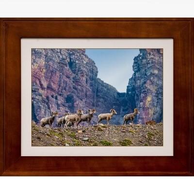 Bighorn Sheep at Logan Pass -- Jeff Lane