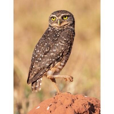 Burrowing Owl -- Jeff Lane