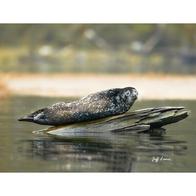 Harbor Seal -- Jeff Lane