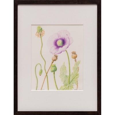Opium Poppy -- Sylvia Portillo