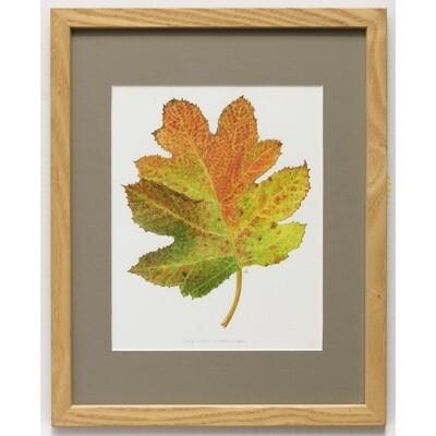 Oak Leaf Hydrangea -- Sylvia Portillo