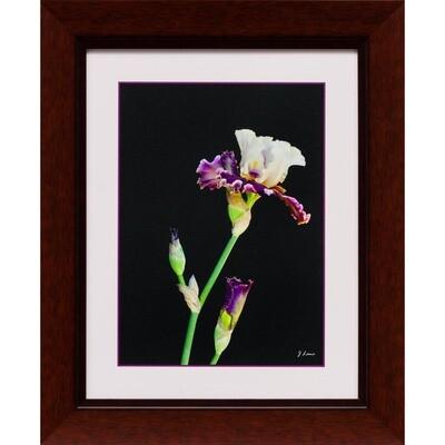 Purple and White Iris -- Jeff Lane