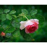 A Rose in the Rain -- Phyllis McDaniel