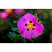To A Wild Rose -- Larey & Phyllis McDaniel