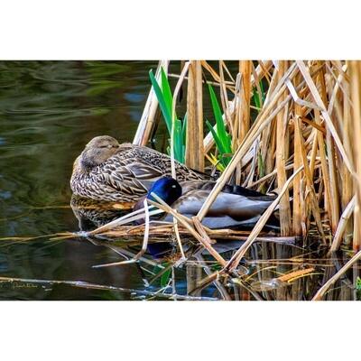 Nestling among the Reeds -- Phyllis McDaniel
