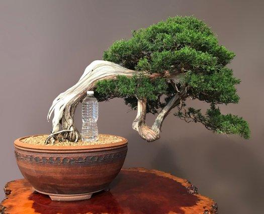 SHIMPAKU 'ITOIGAWA' JUNIPER