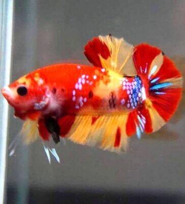 Random Male HMPK Nemo Betta
